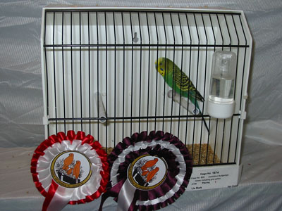 Exhibition budgerigar green including grey green