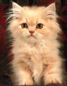 My persian cat is small