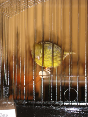 Yellow green fife canary