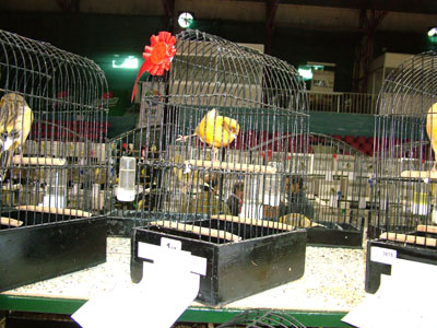 Yorkshire Canaries For Sale Yorkshire Canary