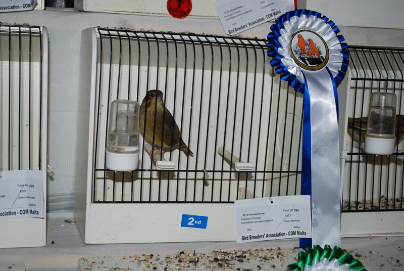 second place greenfinch flighted normal hen
