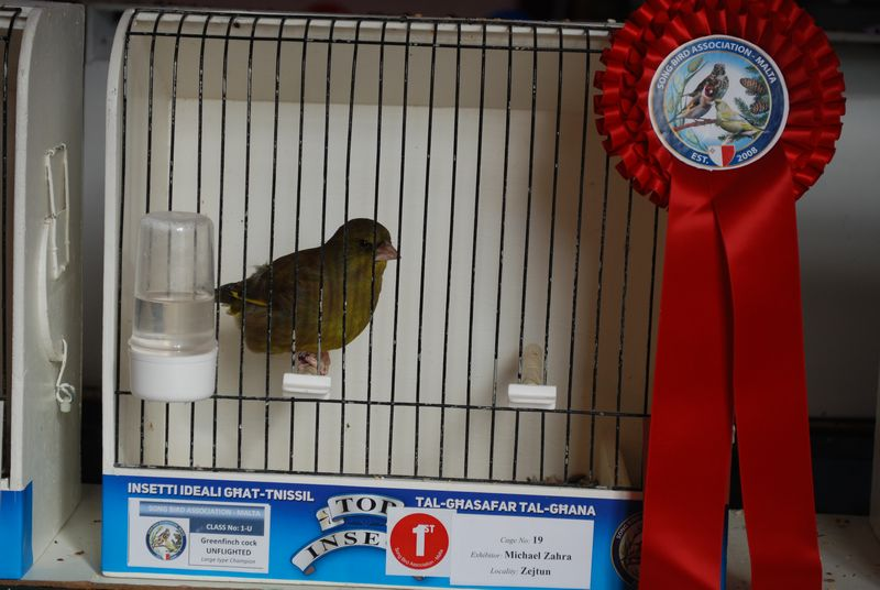 First prize greenfinch unflighted