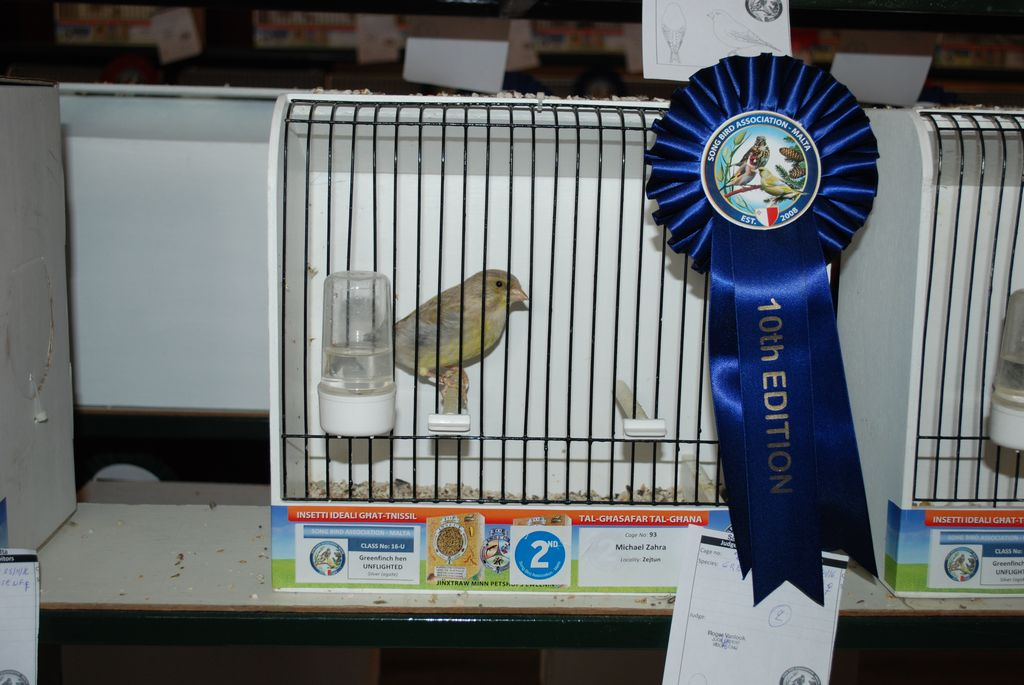 Greenfinch hen silver unflighted second prize