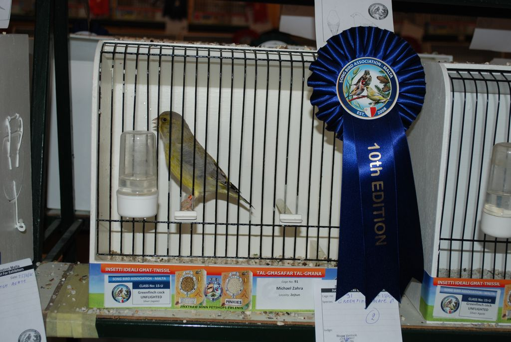 Greenfinch cock silver unflighted second prize
