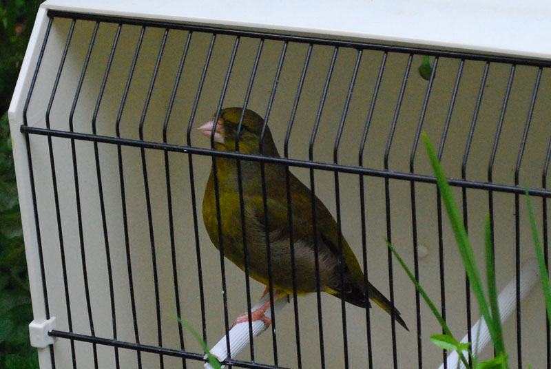greenfinch best