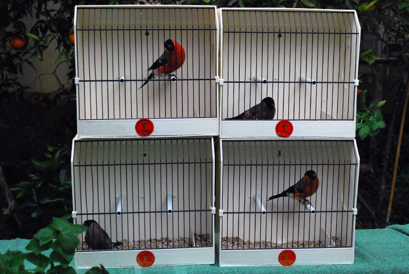 bullfinches double pair