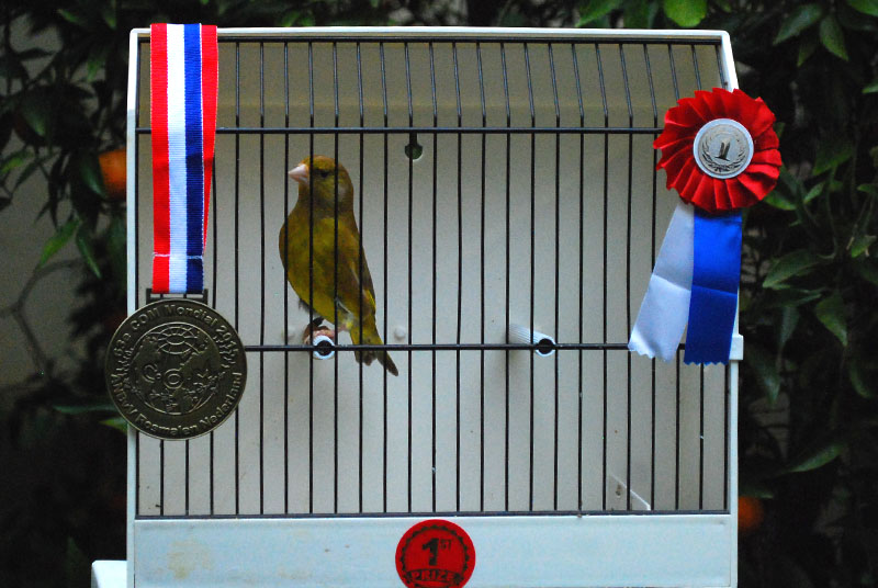cinnamon greenfinch cock gold medal