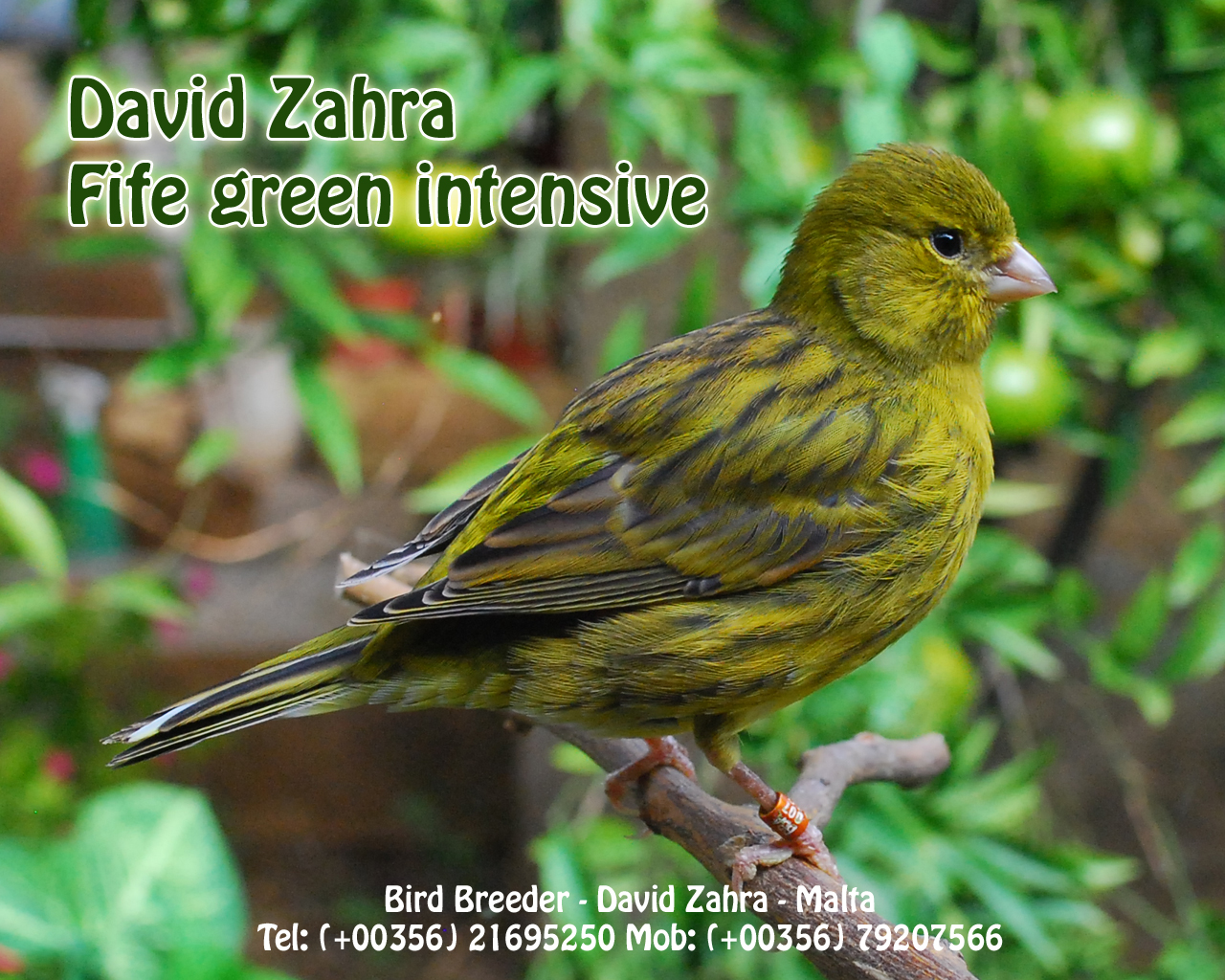 Green Canary Michael Zahra h...