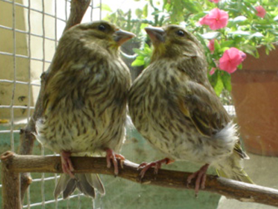 pair greenfinches young