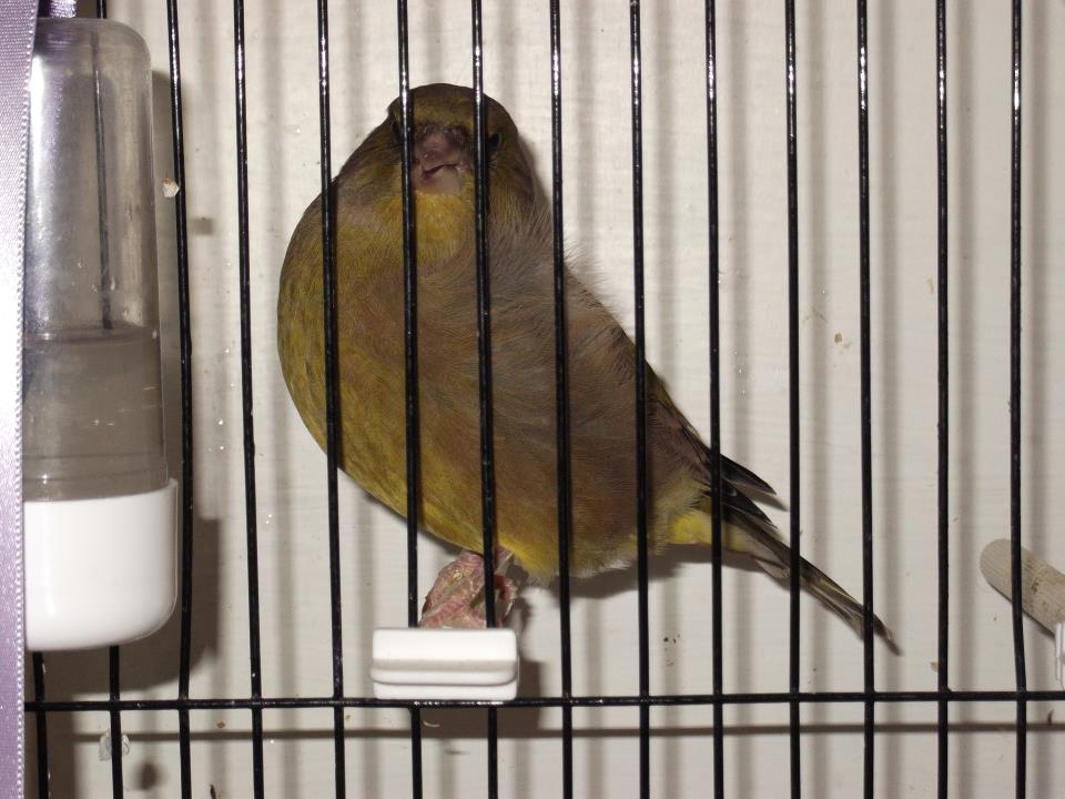 greenfinch cock